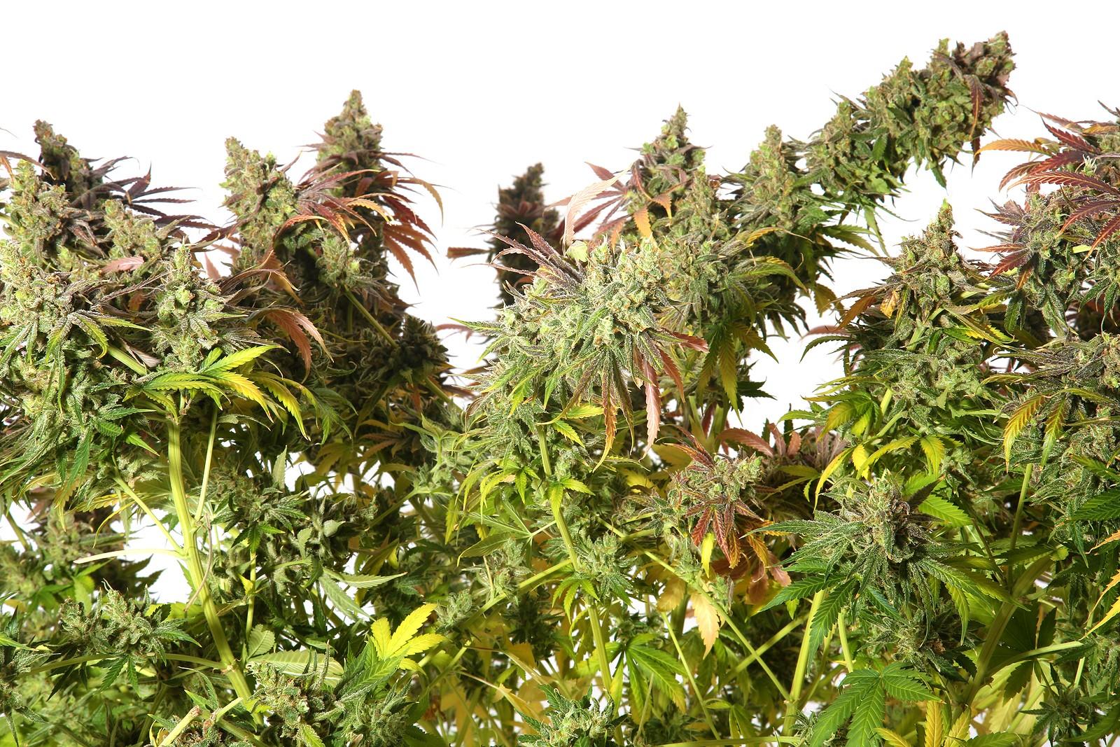 Top 10 Colorful Marijuana Strain