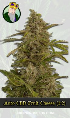 Auto CBD Fruit Cheese (1:2) Marijuana Seeds