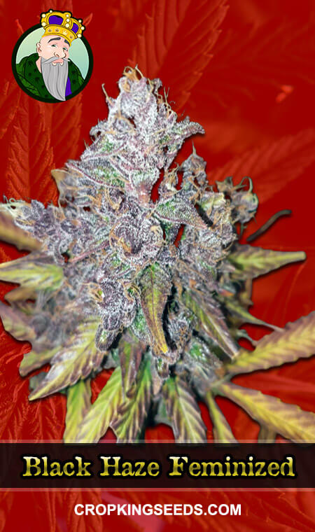 Black Haze Feminized Marijuana Seeds