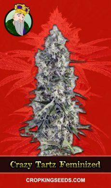 Crazy Tartz Feminized Marijuana Seeds