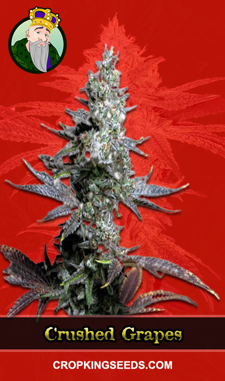 Crushed Grapes Feminized Marijuana Seeds