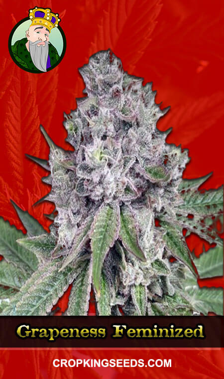 Grapeness Feminized Marijuana Seeds