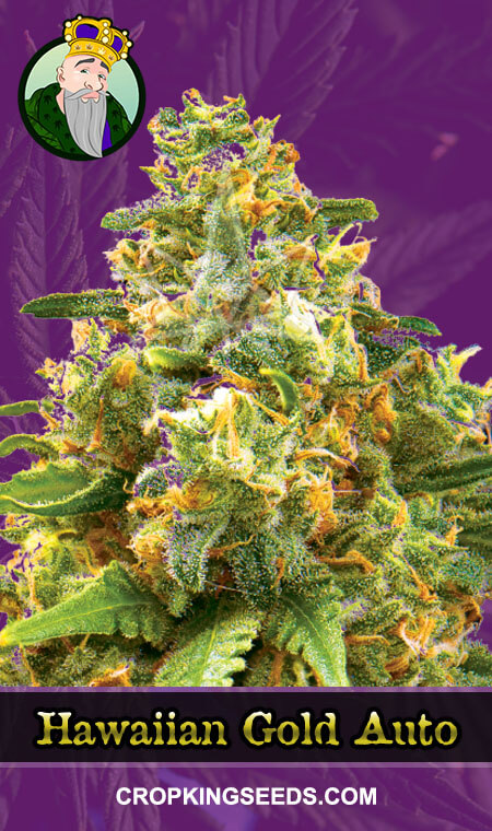 Hawaiian Gold Autoflowering Marijuana Seeds