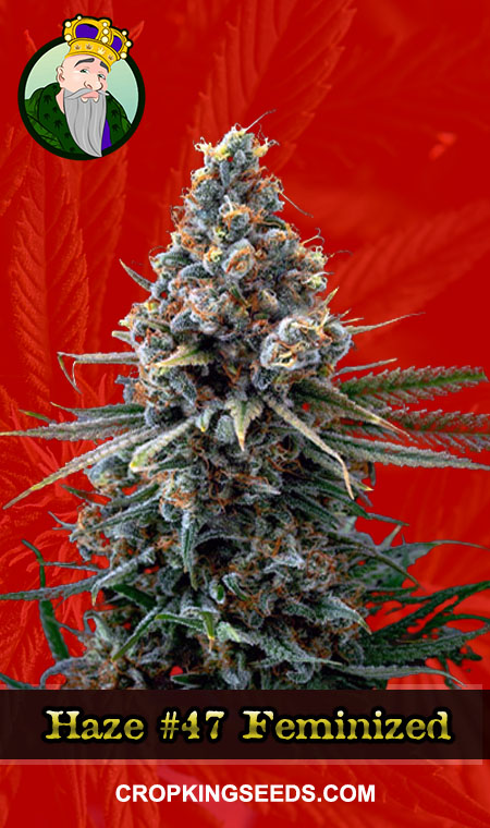 Horchata Feminized Marijuana Seeds
