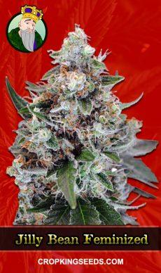 Jilly Bean Feminized Marijuana Seeds