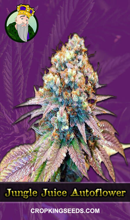 Jungle Juice Autoflowering Marijuana Seeds