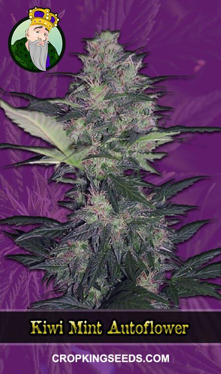 Kiwi Mint Autoflowering Marijuana Seeds