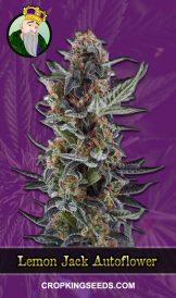 Lemon Jack Autoflowering Marijuana Seeds