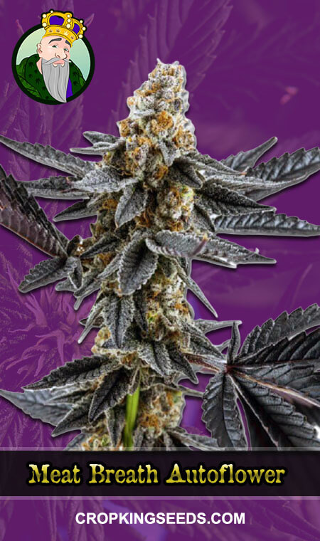 Meat Breath Autoflowering Marijuana Seeds