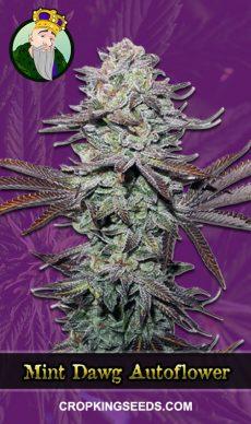 Mint Dawg Autoflowering Marijuana Seeds