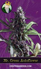 Mr. Green Autoflowering Marijuana Seeds