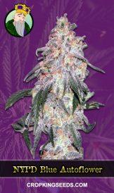 NYPD Blue Autoflowering Marijuana Seeds
