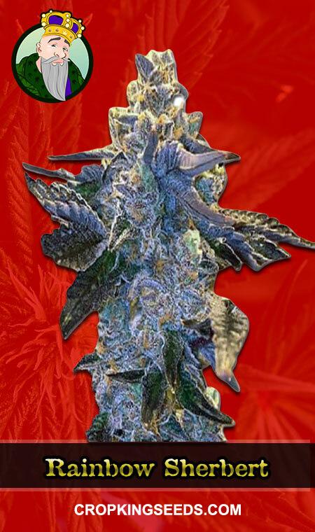Rainbow Sherbert Feminized Marijuana Seeds