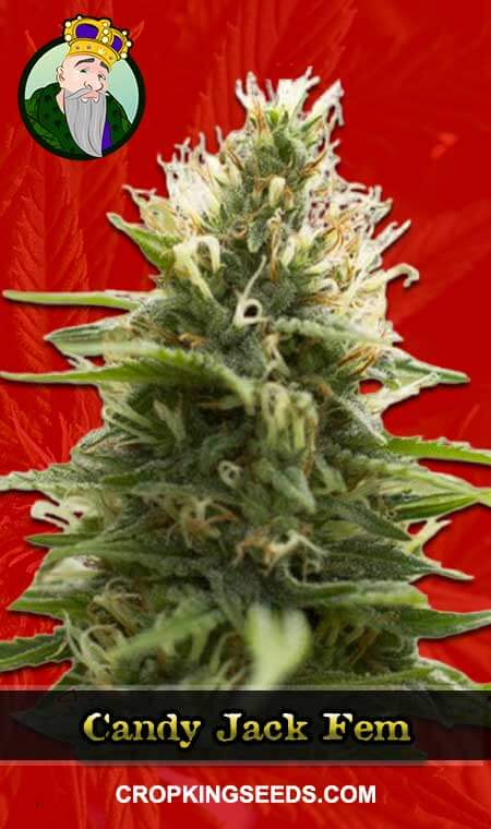 Candy Jack Feminized Marijuana Seeds