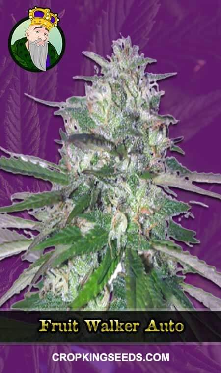Fruit Walker Autoflowering Marijuana Seeds