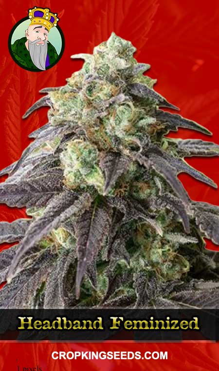 Headband Feminized Marijuana Seeds
