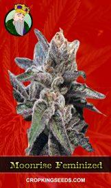 Moonrise Feminized Marijuana Seeds