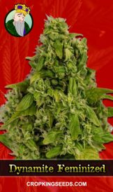 Dynamite Feminized Marijuana Seeds