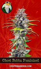 Ghost Bubba Feminized Marijuana Seeds