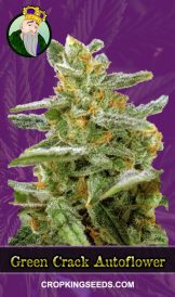 Green Crack Autoflower Marijuana Seeds