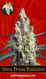 Green Dream Feminized Marijuana Seeds