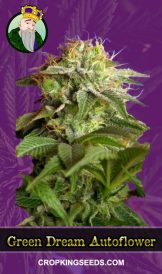 Green Dream Autoflowering Marijuana Seeds