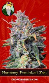 Harmony Feminized Fast Version Marijuana Seeds