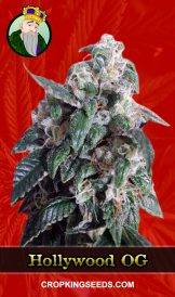 Hollywood OG Feminized Marijuana Seeds