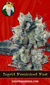 Ingrid Feminized Fast Version Marijuana Seeds