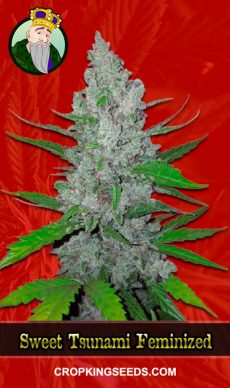 Sweet Tsunami Feminized Marijuana Seeds