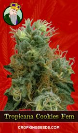 Tropicana Cookies Feminized Marijuana Seeds