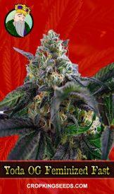 Yoda OG Feminized Fast Version Marijuana Seeds