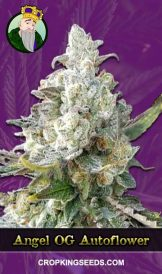 Angel OG Autoflowering Marijuana Seeds