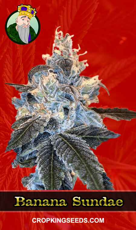 Banana Sundae Feminized Marijuana Seeds