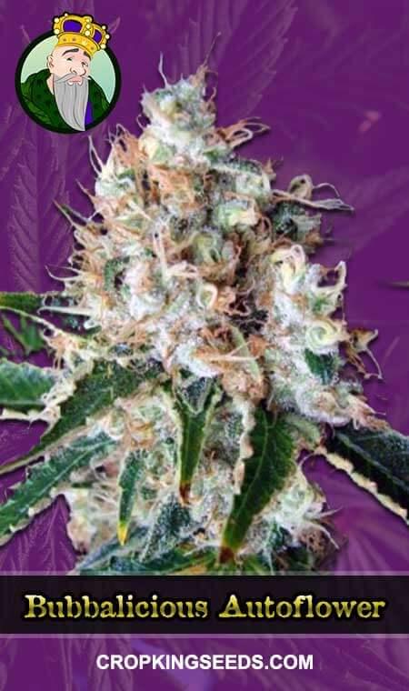 Bubbalicious Autoflowering Marijuana Seeds