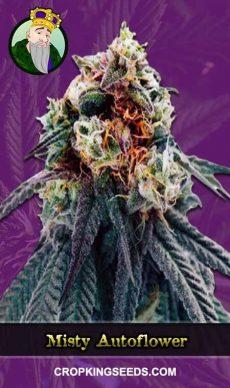 Misty Autoflowering Marijuana Strain