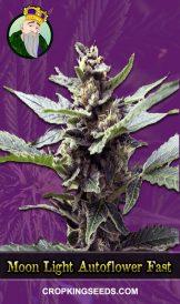 Moon Light Autoflower Fast Version Marijuana Seeds