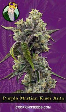 Purple Martian Kush Autoflowering Marijuana Seeds