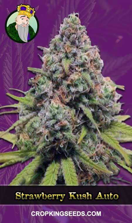 Strawberry Kush Autoflowering Marijuana Seeds