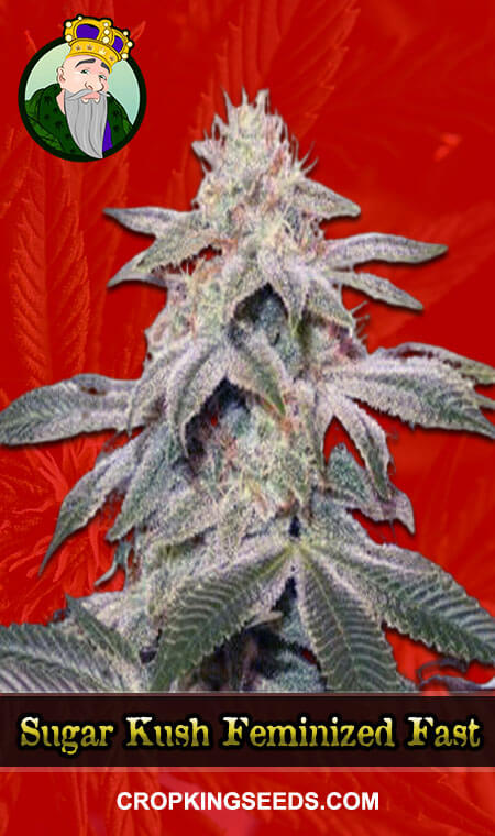 Sugar Kush Feminized Fast Version Marijuana Seeds