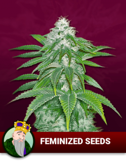 Feminized Seeds P5vi5logiceibjkrh5dxaiw4f38bpthx59pwmr7m5y