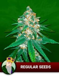 Regular Seeds P8jfznmyzjtqf1m5kgh75qzt66schlydpi0pcfxss6