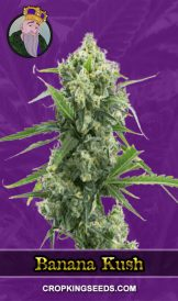 Banana Kush Autoflower Marijuana Seeds