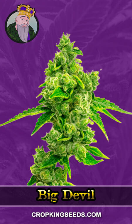 Big Devil Autoflower Marijuana Seeds