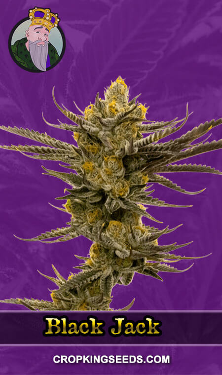 Black Jack Autoflower Marijuana Seeds