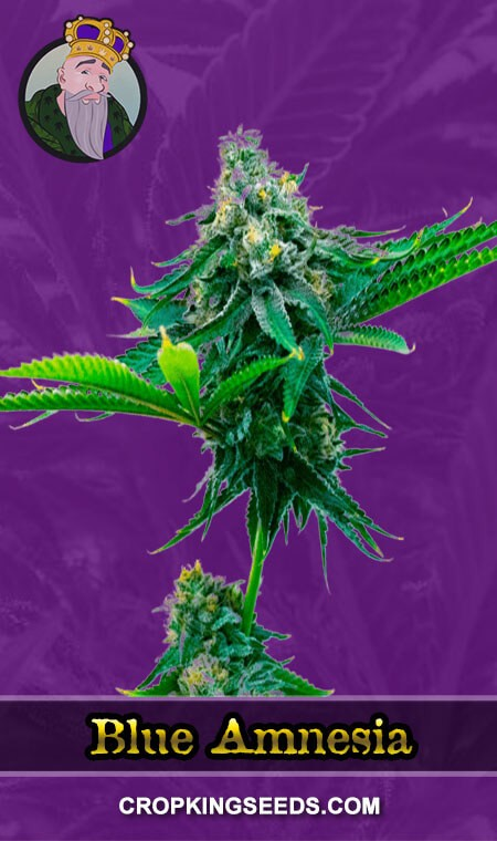 Blue Amnesia Autoflower Marijuana Seeds