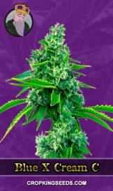 Blue X Cream C Autoflower Marijuana Seeds