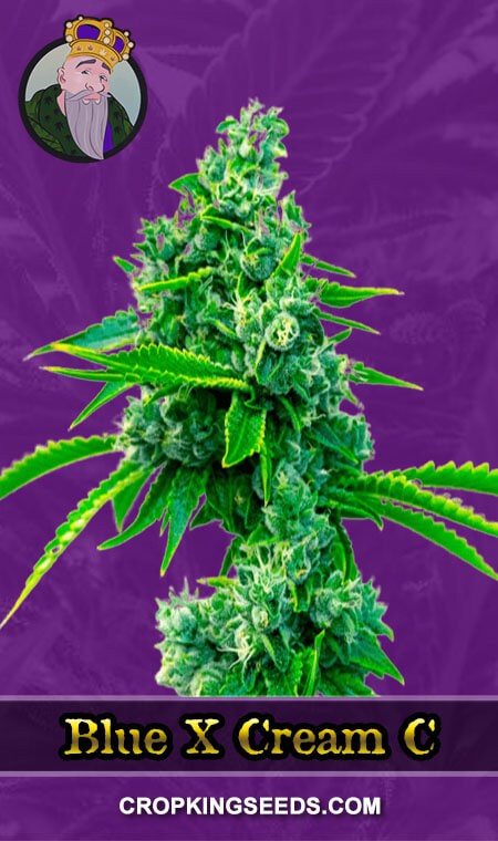Blue X Cream C Autoflower Marijuana Seeds