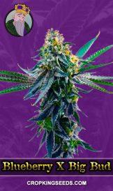 Blueberry X Big Bud Autoflower Marijuana Seeds