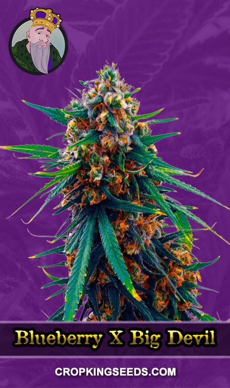 Blueberry X Big Devil Autoflower Marijuana Seeds